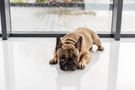 Photo for Upset french bulldog lying on floor and looking at camera - Royalty Free Image