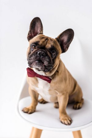 Photo for Adorable purebred french bulldog with bow tie sitting on chair and looking at camera - Royalty Free Image