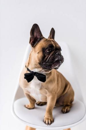 Photo for Adorable purebred bulldog with black bow tie looking away on white - Royalty Free Image