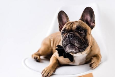 Photo for Close-up view of purebred french bulldog with black bow tie lying on chair - Royalty Free Image