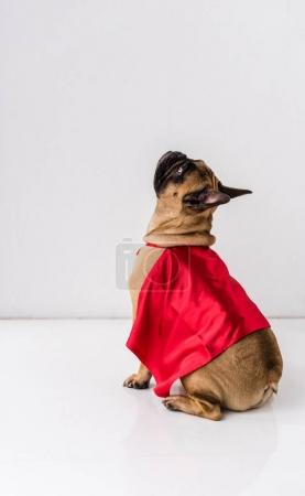 Photo for Side view of dog in red mantle looking up on white - Royalty Free Image