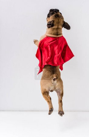Photo for Back view of dog in red mantle jumping on white - Royalty Free Image