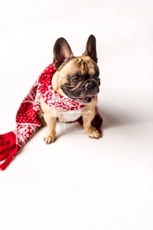 French Bulldog in scarf