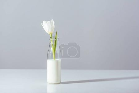 close-up view of beautiful white tulip flower in bottle with milk on grey