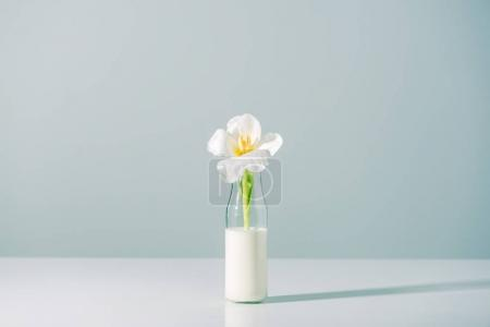 beautiful white tulip flower in bottle with milk on grey