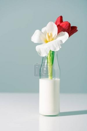 close-up view of beautiful red and white flowers in bottle with milk on grey