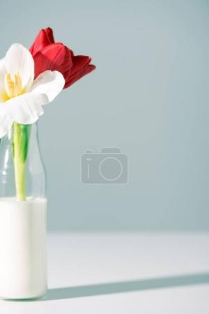 Photo for Close-up view of beautiful red and white flowers in bottle with milk on grey - Royalty Free Image