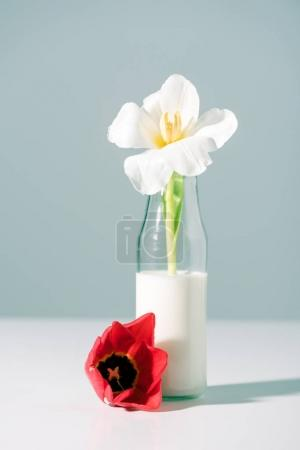 Photo for Beautiful white tulip flower in glass bottle with milk and red one on grey - Royalty Free Image