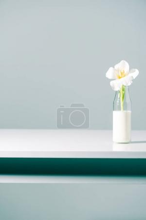 beautiful white tulip flower in glass bottle with milk on grey