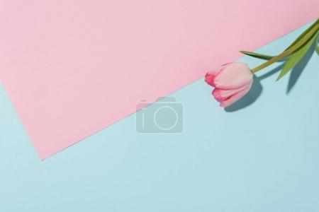Photo pour Vue rapprochée de belle fleur de tulipe rose sur fond coloré - image libre de droit
