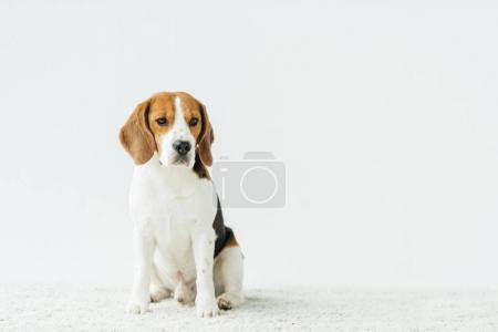 cute beagle sitting on white carpet at home