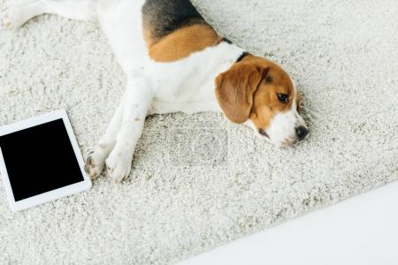Photo for High angle view of cute beagle lying on carpet with tablet - Royalty Free Image