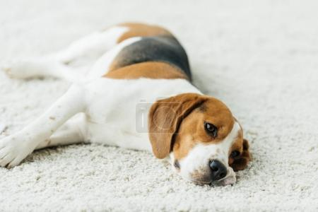 cute beagle lying on carpet at home
