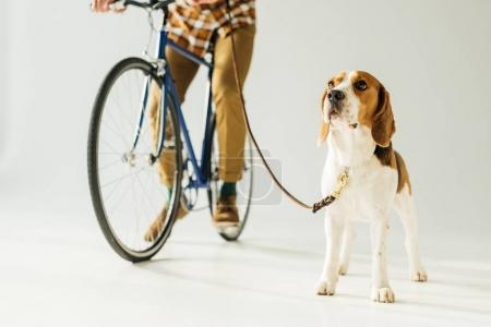 cropped image of man on bike with beagle on white