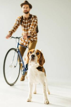 bicycler standing with cute beagle on white