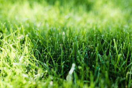 Photo for Fresh green grass on summer lawn in sun rays - Royalty Free Image
