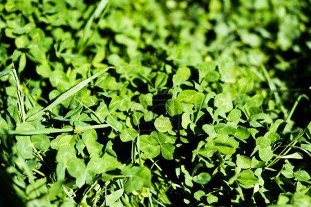 Green clover leaves on summer meadow