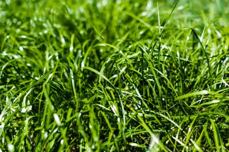 Photo for Fresh green grass on summer lawn - Royalty Free Image