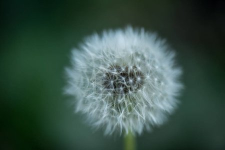 close up view of tender dandelion with blurred background