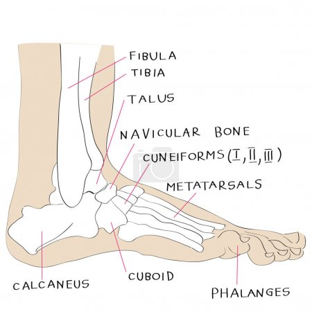lateral view foot bones color