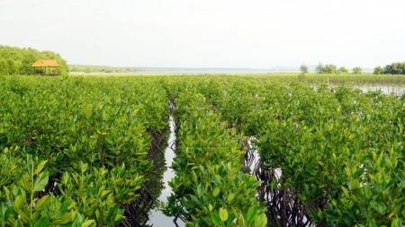 Mangrove forest in  tropical coastal