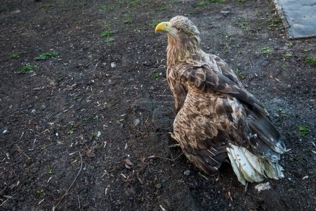 The eagle sits on the ground