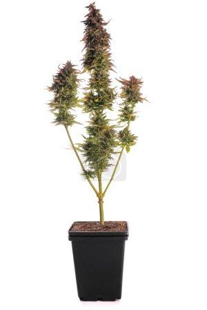 Cáñamo arbusto verde sobre un fondo blanco aislado, planta aislada