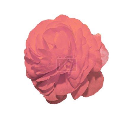 Pink Ranunculus flower, Ranunculaceae family. Genu...