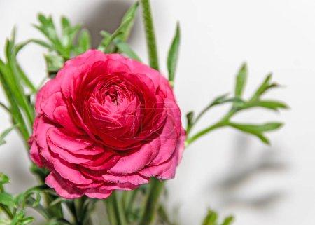 Dark red Ranunculus flower, Ranunculaceae family. ...