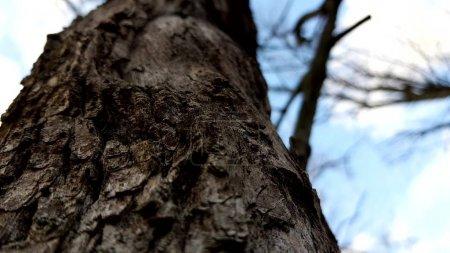 """Photo pour Fermeture de l """"écorce des arbres, vue du bas dans un ciel bleu, forêt d'automne avec branches nues - image libre de droit"""
