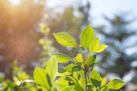 Feuilles vertes dans la nature. Vie heureuse dans la matinée et le concept de l'environnement. Thème forêt et ciel. Thème de plantes et d'arbres