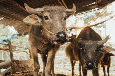 buffalo in the cattle pen portrait local Thailand buffalo cow in the morning scene