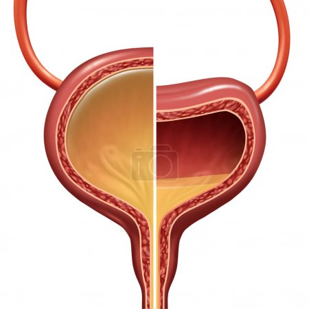 Bladder as a normal and overactive urinary organ c...
