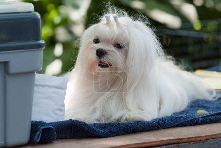 combing Maltese dog