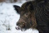 Wild boar head in the winter