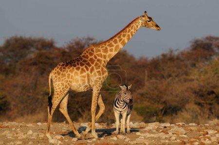 Giraffe with zebra in the dry landscape