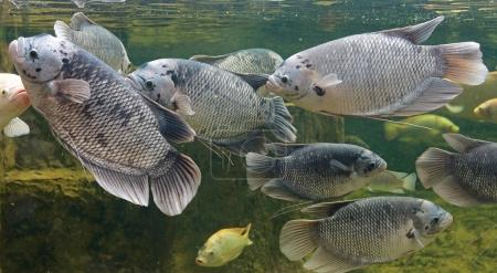 Giant gourami fish swimming in a pond