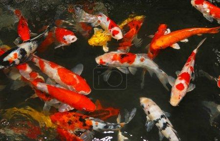 "Multicoloured pond fish ""Koi fish"""