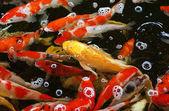 """Постер, картина, фотообои """"Многоцветный прудовых рыб «koi рыбы"""""""""""