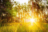 Sunset Or Sunrise In Forest Landscape. Sun Sunshine With Natural