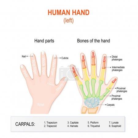Illustration pour Pièces de main humaine et os. Main gauche. Système squelettique et doigts de Phalanges. anatomie de la main et du poignet humains. Étiqueté - image libre de droit