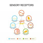 Human skin and sensory receptors Pressure vibration temperature and toutch are transmitted via special receptory organs and nerves