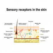 Human sensory system in the skin Pressure vibration temperature pain and itching are transmitted via special receptory organs and nerves