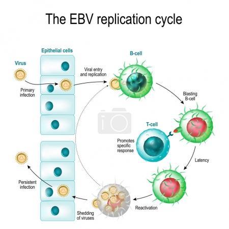 The Epstein-Barr virus (EBV) replication cycle (En...