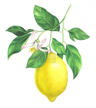 Photo for Lemon branch with flower on white background. Hand drawn watercolor illustration. - Royalty Free Image