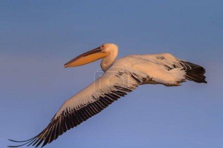 white pelican (pelecanus onocrotalus) in flight
