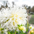 Gorgeous macro photograph of white cornflower in a...