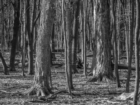 Photo pour Belle image en noir et blanc d'une forêt comprenant des troncs d'arbres nouveaux et anciens et le sol faisant un grand fond, toile de fond ou image de papier peint . - image libre de droit