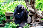 Portrait of Asiatic Black Bear eating on the rock with nature frame