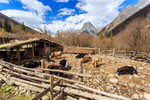 The yaks in the Four Maiden's Mountain (Mt. Siguniangshan) Scenic Area is an unspoiled wilderness park located in western china and Qiang Autonomous Prefecture, Sichuan Province, China